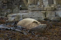 Νότια σφραγίδα ελεφάντων κοιμισμένη σε ένα κρεβάτι kelp στοκ φωτογραφία με δικαίωμα ελεύθερης χρήσης