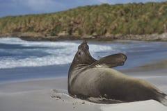 Νότια σφραγίδα ελεφάντων - Νήσοι Φώκλαντ Στοκ εικόνα με δικαίωμα ελεύθερης χρήσης