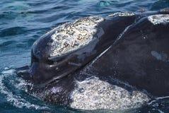 Νότια φάλαινα Στοκ εικόνες με δικαίωμα ελεύθερης χρήσης