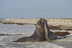Νότιες σφραγίδες ελεφάντων στις Νήσους Φώκλαντ Στοκ εικόνα με δικαίωμα ελεύθερης χρήσης