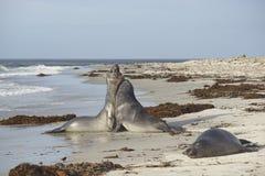 Νότιες σφραγίδες ελεφάντων στις Νήσους Φώκλαντ Στοκ Εικόνες