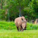Νότιος άσπρος ρινόκερος, διακυβευμένα αφρικανικά εγγενή ζώα Στοκ φωτογραφία με δικαίωμα ελεύθερης χρήσης