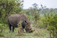 Νότιος άσπρος ρινόκερος στο εθνικό πάρκο Kruger, Νότια Αφρική Στοκ Εικόνες