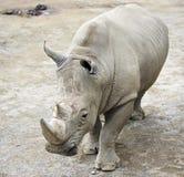 Νότιος άσπρος ρινόκερος Στοκ φωτογραφία με δικαίωμα ελεύθερης χρήσης