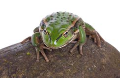 Νότιος βάτραχος κουδουνιών Στοκ Εικόνες