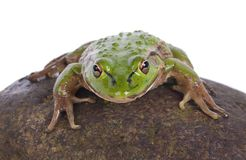 Νότιος βάτραχος κουδουνιών Στοκ φωτογραφία με δικαίωμα ελεύθερης χρήσης