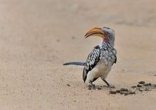 Νότιος κίτρινος που τιμολογείται hornbill στο έδαφος Στοκ Εικόνες