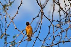 Νότιος καλυμμένος υφαντής - αφρικανικό άγριο υπόβαθρο πουλιών - ζωηρόχρωμη φύση Στοκ Εικόνα
