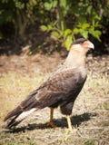 Νότιος νότος Caracara - αμερικανικό πουλί στοκ φωτογραφία με δικαίωμα ελεύθερης χρήσης