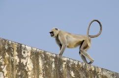 Νότιος πίθηκος Langur πεδιάδων γκρίζος στην Ινδία Jaipur Στοκ εικόνα με δικαίωμα ελεύθερης χρήσης