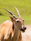 Νότιος ταυρότραγος με τα σπειροειδή κέρατα στο λιβάδι - Taurotragus oryx Στοκ Φωτογραφίες