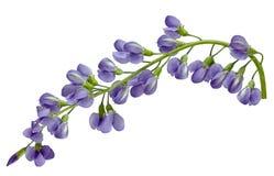 Νότιο λουλούδι Baptisia στοκ φωτογραφίες