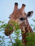 Νότιο Giraffe στοκ εικόνες με δικαίωμα ελεύθερης χρήσης