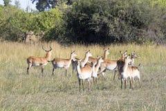 Νότιο lechwe, Kobus leche, εθνικό πάρκο Moremi, Μποτσουάνα στοκ φωτογραφία με δικαίωμα ελεύθερης χρήσης