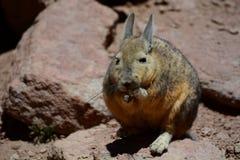 Νότιο Viscacha Τμήμα Potosà boleyn στοκ φωτογραφίες