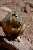 Νότιο Viscacha Τμήμα Potosà boleyn στοκ φωτογραφία με δικαίωμα ελεύθερης χρήσης