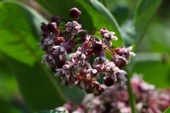 Νότιο Wormwood (Artemisia abrotanum) Στοκ Εικόνες