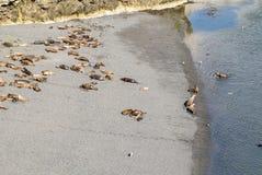 Νότος - αμερικανικά λιοντάρια θάλασσας οκνηρά στον ήλιο στοκ εικόνες