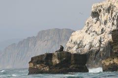 Νότος - αμερικανικά λιοντάρια θάλασσας που στηρίζονται στο βράχο από την ακτή του Περού στοκ εικόνες με δικαίωμα ελεύθερης χρήσης