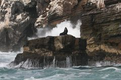 Νότος - αμερικανικά λιοντάρια θάλασσας που στηρίζονται στο βράχο από την ακτή του Περού στοκ εικόνα