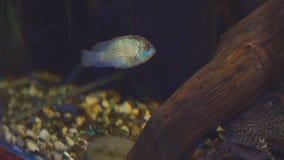 Νότος - αμερικανικά ψάρια ενυδρείων της οικογένειας cichlid αποκαλούμενης Laetacara curviceps στο εγχώριο ενυδρείο απόθεμα βίντεο