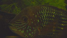 Νότος - αμερικανικά ψάρια ενυδρείων της οικογένειας cichlid αποκαλούμενης Laetacara curviceps στο εγχώριο ενυδρείο φιλμ μικρού μήκους