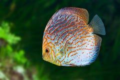 Νότος - αμερικανικά ψάρια Discus 0 στοκ φωτογραφία με δικαίωμα ελεύθερης χρήσης