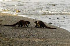Νότος - αμερικανικά coatis (nasua Nasua) Στοκ Εικόνα