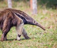 Νότος - αμερικανικός γίγαντας anteater που περπατά δεξιά Στοκ Εικόνες