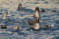 Νότος - αμερικανικό λιοντάρι θάλασσας που κολυμπά από την περουβιανή ακτή στοκ φωτογραφία με δικαίωμα ελεύθερης χρήσης