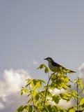 Νότος - αμερικανικό πουλί αποκαλούμενο Calandria με το φως του ήλιου στοκ φωτογραφίες με δικαίωμα ελεύθερης χρήσης