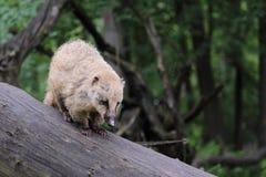 Νότος - αμερικανικό coati στοκ εικόνα με δικαίωμα ελεύθερης χρήσης
