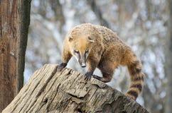 Νότος - αμερικανικό coati - nasua Nasua Στοκ εικόνες με δικαίωμα ελεύθερης χρήσης