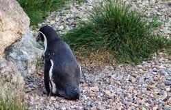 Νότος - αμερικανικό humboldt penguin Στοκ εικόνες με δικαίωμα ελεύθερης χρήσης