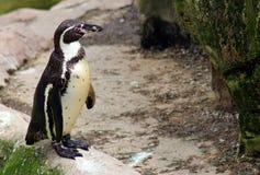 Νότος - αμερικανικό humboldt penguins Στοκ Φωτογραφίες