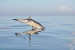 νότος δελφινιών της Αφρική& Στοκ Φωτογραφία