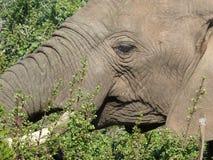 νότος ελεφάντων της Αφρικής Στοκ φωτογραφίες με δικαίωμα ελεύθερης χρήσης