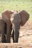 νότος ελεφάντων της Αφρικής Στοκ εικόνα με δικαίωμα ελεύθερης χρήσης