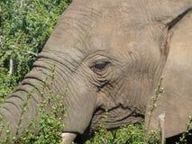 νότος ελεφάντων της Αφρικ Στοκ Εικόνα