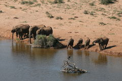 νότος ελεφάντων της Αφρικ Στοκ Φωτογραφία