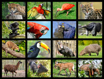 Νότος φωτογραφιών μωσαϊκών - αμερικανικά ζώα Στοκ Εικόνες