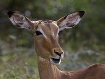 νότος impala της Αφρικής στοκ φωτογραφία