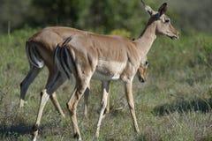 νότος impala της Αφρικής Στοκ Εικόνες