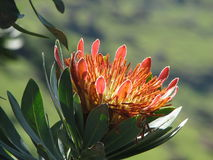 νότος protea λουλουδιών της &Alph Στοκ Εικόνες