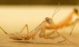 Νύμφη Mantis επίκλησης (Mantodea) Στοκ εικόνες με δικαίωμα ελεύθερης χρήσης