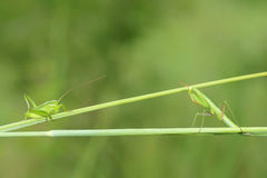 Νύμφη Mantis και νύμφη γρύλων Στοκ Εικόνες