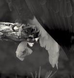 Νύχια αετών στοκ εικόνες