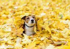 Ξάπλωμα σκυλιών που θάβεται κάτω από τα κίτρινα πεσμένα φύλλα φθινοπώρου στοκ εικόνες