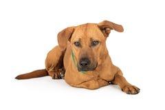 Ξάπλωμα σκυλιών του Λαμπραντόρ Rhodesian Ridgeback στοκ φωτογραφίες με δικαίωμα ελεύθερης χρήσης