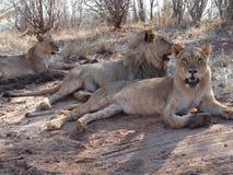 Ξάπλωμα τριών λιονταριών Στοκ φωτογραφία με δικαίωμα ελεύθερης χρήσης